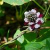 7 Aug 2015<br /> <br /> kudzu in bloom.<br /> <br /> f/11, 1/200s, iso 800.