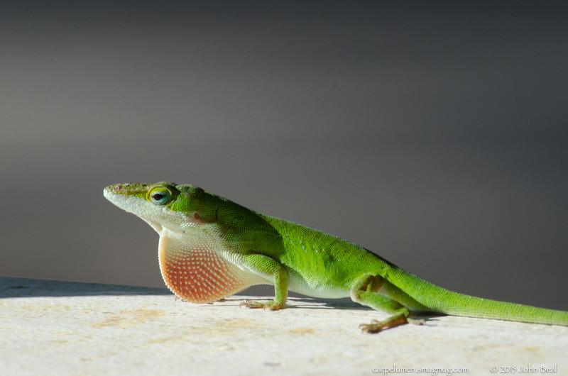 Lizard on porch rail