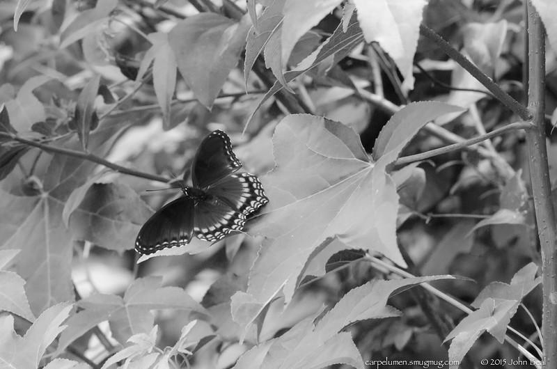 Bush Swallowtail