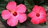 hibiscus IMG_0079 (2)