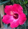 hibiscus IMG_1017