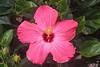 hibiscus IMG_1198