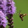Hummingbird Moth at Quail Hollow. 7-16-15 Sigma 150-600 S