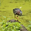 Green Heron at Ira Trailhead. Sigma 150-600 S lens. 7-13-15