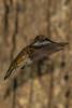 MaMa Hummingbird