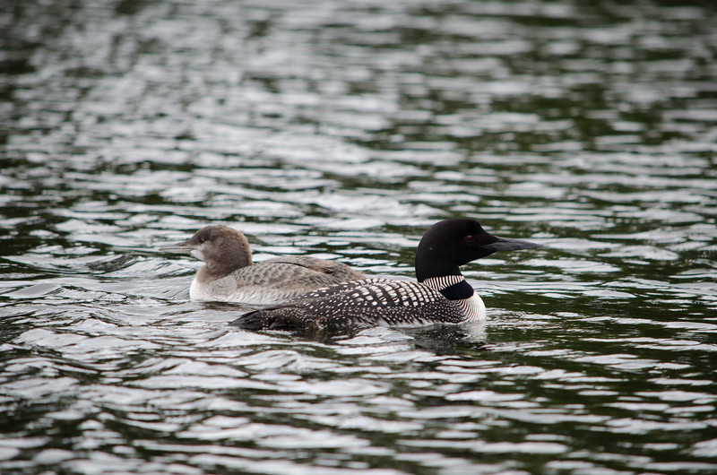 Loon with Juvenile Loon