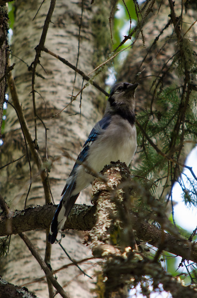 Blue Jay Over Campsite