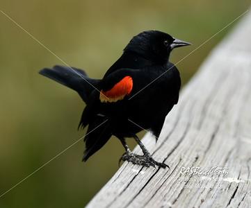 Red-winged Blackbird in Wakodahatchee Wetlands