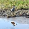 Great Blue Heron with fish in Wakodahatchee Wetlands