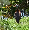 Black-bellied Whistling Duck in Wakodahatchee Wetlands