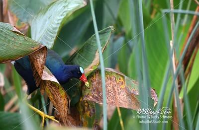 Purple Gallinule in Green Cay Wetlands