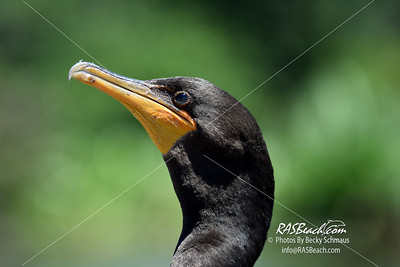 Double-crested Cormorant in Wakodahatchee Wetlands