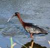 Glossy IBIS in Wakodahatchee Wetlands