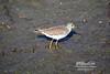 Solitary Sandpiper in Wakodahatchee Wetlands