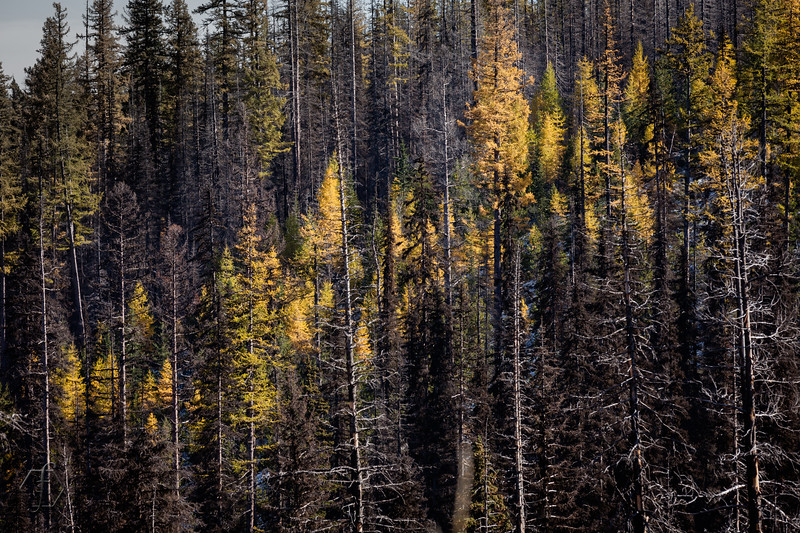 Blewett Pass Larches