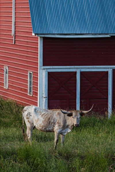 Palouse Longhorn