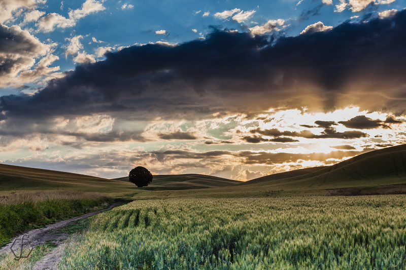 Lone Palouse Tree
