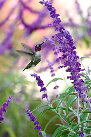 "Hummingbird- San Juan Capistrano, CA (note that bird is not ""tack sharp""!)"