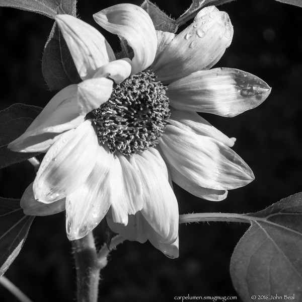 (3 Jul 2016)<br /> <br /> sunflower in b/w.<br /> <br /> f/8, 1/125s, iso 200.