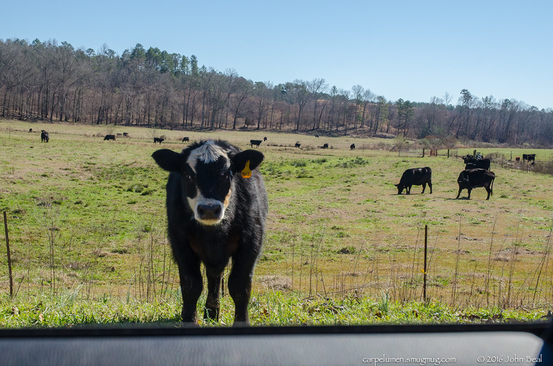 5 Feb 2016<br /> <br /> number 705, a bit of a maverick.<br /> <br /> i slowed for the 1 lane bridge, and stopped to make sure i didn't startle him. i got this 1 shot when he decided he'd better back in through the hole in the fence.<br /> <br /> f/8, 1/800s, iso 1250.