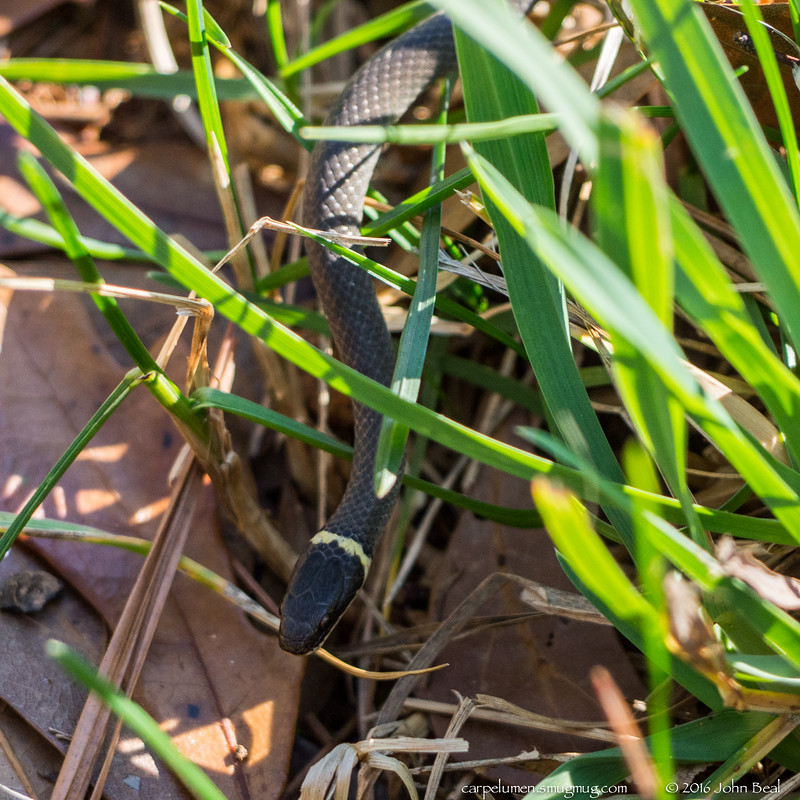 (26 Dec 2016)<br /> <br /> ring necked snake (Diadophis punctatus).<br /> <br /> f/5.6, 1/250s, iso 500.