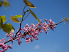 23 Mar 2016<br /> <br /> red bud tree.<br /> <br /> f/5.6, 1/1600s, iso 200.