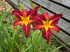 (16 Jun 16)<br /> <br /> day lilies.<br /> <br /> f/8, 1/125s, iso 200.