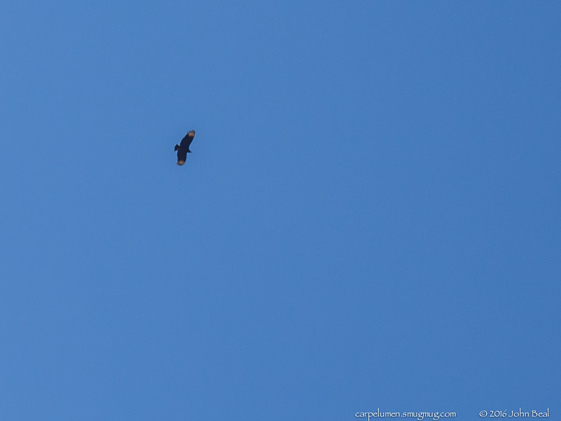 (27 Feb 2016)<br /> <br /> black vulture in flight.<br /> <br /> f/11, 1/400s, iso 200.
