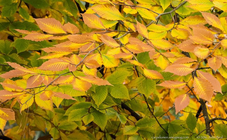 (30 Nov 2016)<br /> <br /> american beech (fagus grandifolia).<br /> <br /> f/9, 1/250s, iso 2500.