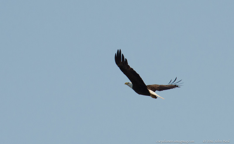(13 May 2016)<br /> <br /> majestic fly-by.<br /> <br /> f/11, 1/1000s, iso 800.