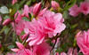 10 Mar 2016<br /> <br /> azaleas in bloom.<br /> <br /> f/11, 1/80s, iso 400.