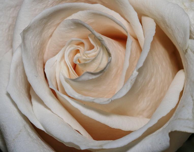 rose 375