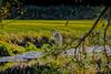 Great Egret in Pine