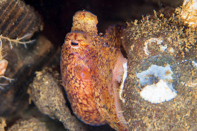 Pacific Red Octopus - Redondo in Des Moines, Washington