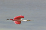 Roseate Spoonbill Peace, Nominee-Wildlife.