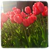 Spring Tulips in Lincolnshire