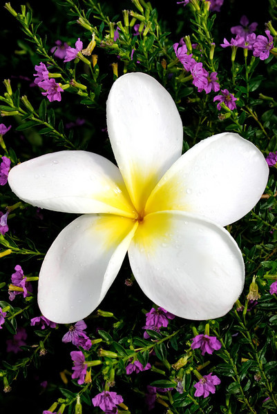 White Plumeria flower- Oahu, Hawaii
