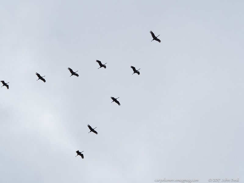 11 Feb 2017<br /> <br /> avoiding a layover in ATL.<br /> <br /> they just kept circling over the house, looking for somebird to lead them out. one of the 'disorganized' pix has ~120 of them, calling for a leader.<br /> <br /> f/11, 1/1600s, iso 400.