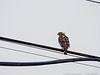 22 Jan 2017<br /> <br /> bird on a wire.<br /> <br /> ps: not a falcon, but atlanta is heading back to the super bowl.<br /> <br /> f/7.1, 1/400s, iso 200.
