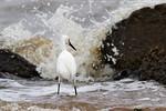 Intrepid Snowy Egret At Frozen Point