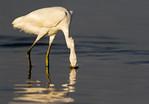 Snowy Egret Splash At East Beach