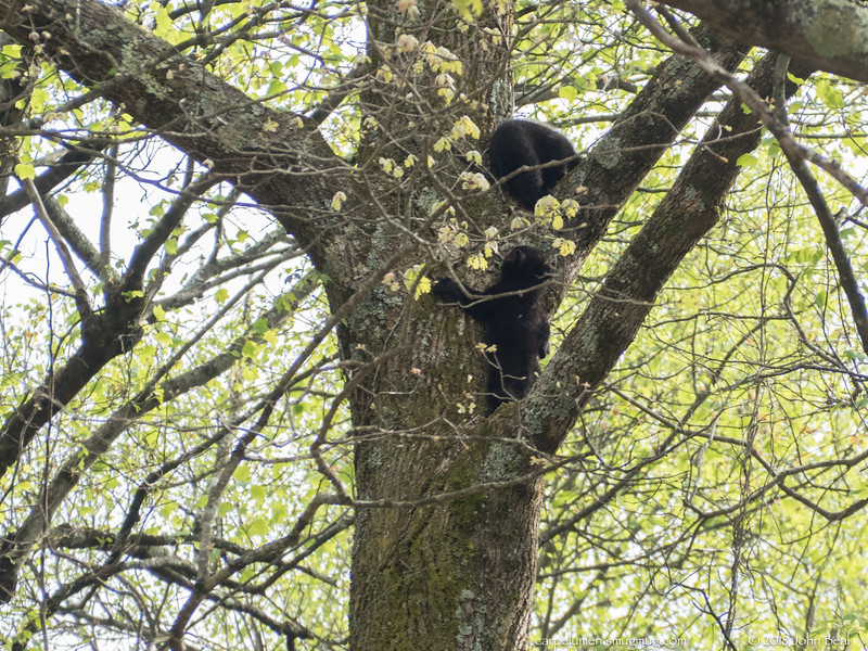 5 May 2018<br /> <br /> a couple of bear cubs heading for safety.<br /> <br /> f/6.3, 1/320s, iso 500.