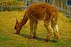 Alpaca Grazing