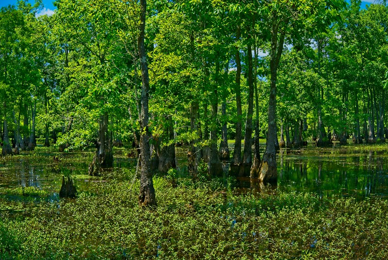 Cypress Swamp Summer