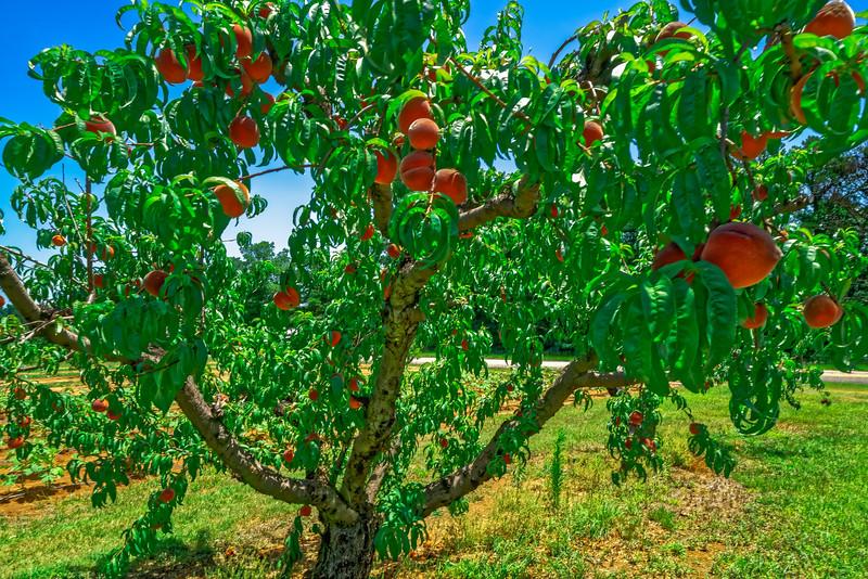Alabama Peach Tree