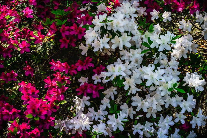 Red and White Azaleas