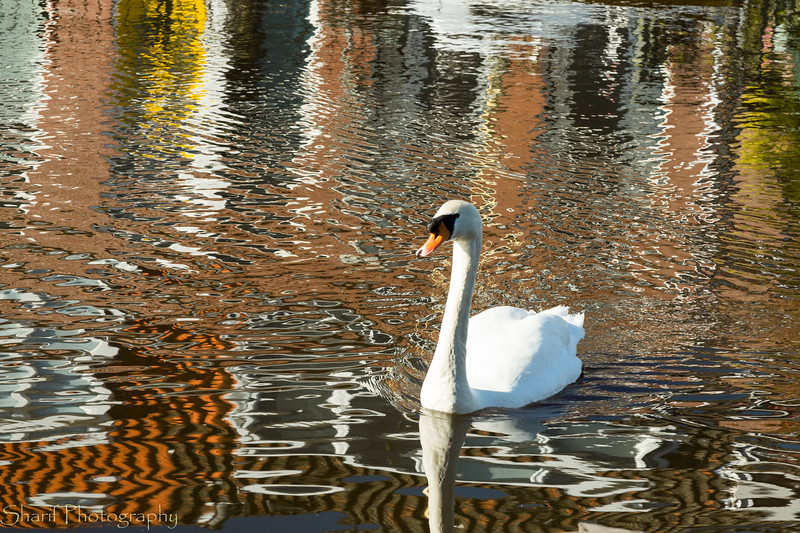 A swan swims in the reflections of houses on the canal.