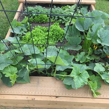 Squash and lettuce