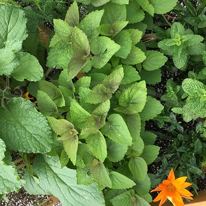 Anise Hyssop (Licorice mint)