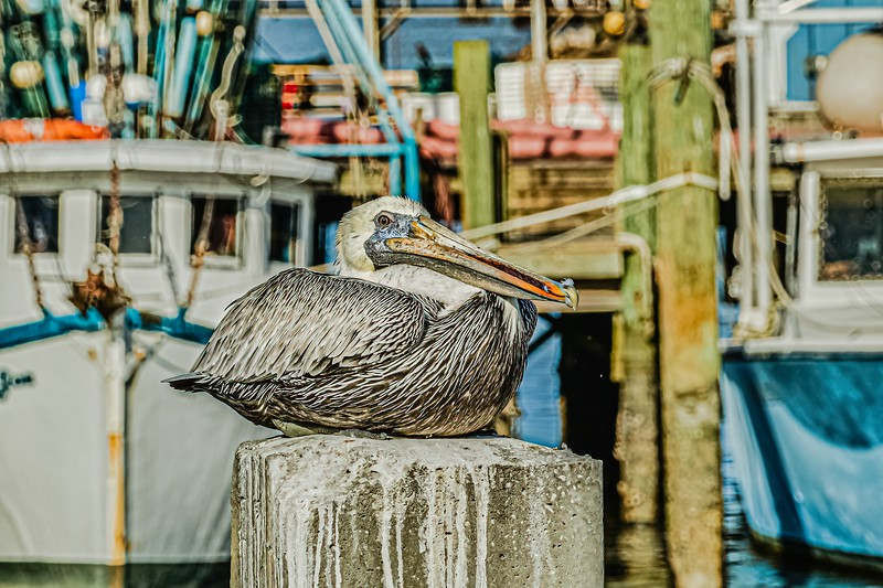 Brown Pelican Resting and Enjoying a Meal